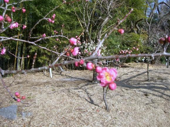 熱海梅園内早咲き梅