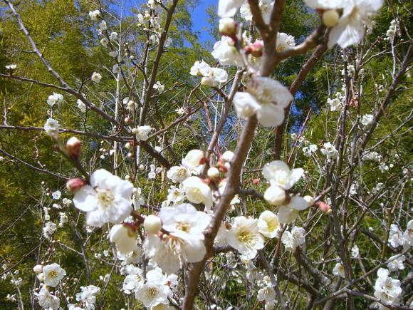 熱海梅園内開花白梅
