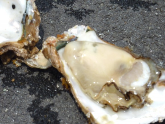 熱海湾で獲れた岩牡蠣