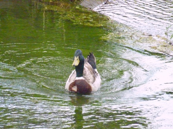 カルガモが泳ぐ風景