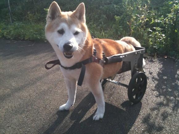 車いすの柴犬「チャタ」