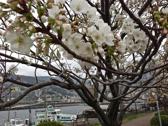 熱海港の桜
